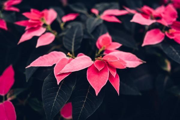 Weihnachtsstern-1701892-Ricardo-Esquivel_pexels-com